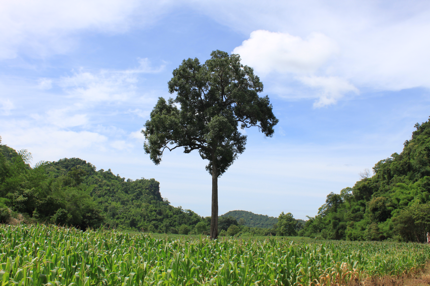 Tree in Sam Phak Nam